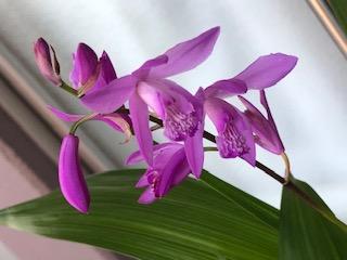 紫蘭2.jpeg